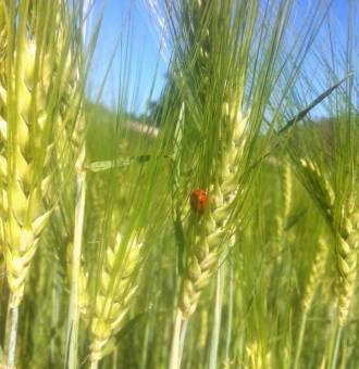 Champ Vert orge Coccinelle